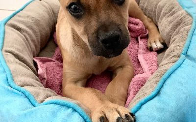 Samantha – 8 week old Staffy X