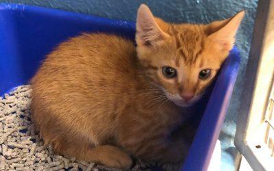 Meet little ARCHIE – 7 week old kitten