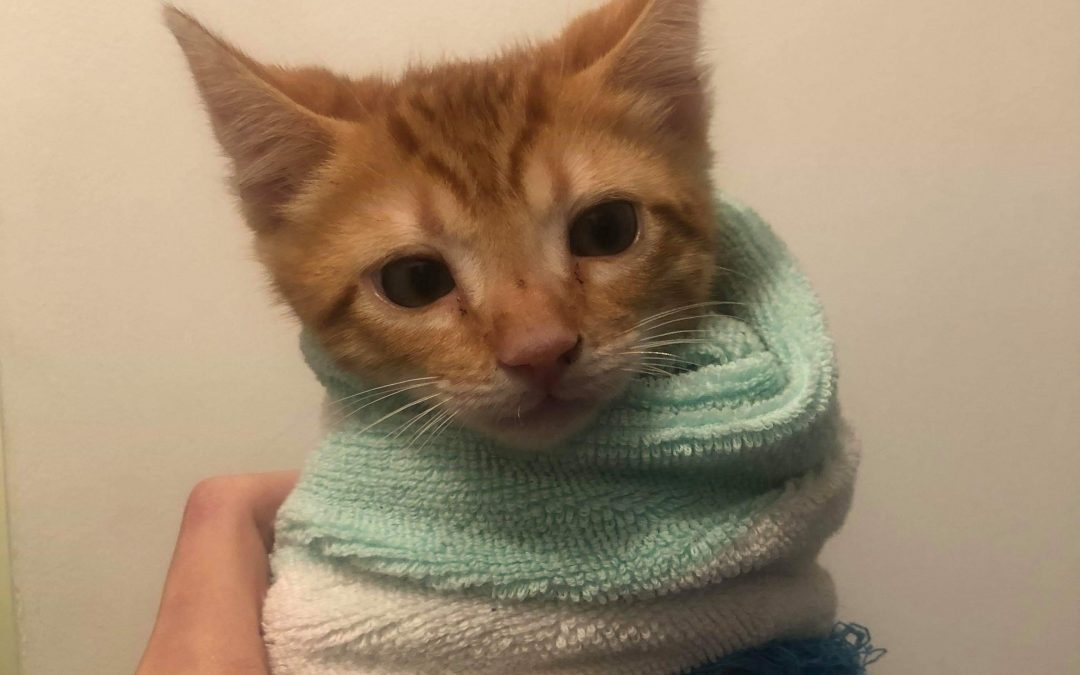 ARCHIE – 8 Weeks Old – Male – Adopted!