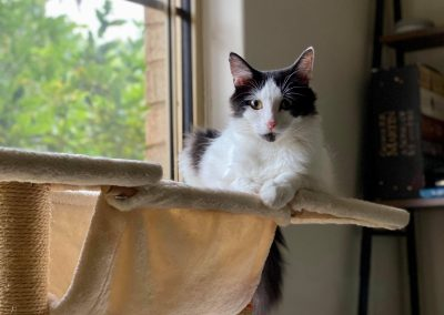 NANCY – Expecting Kittens – 1 Years Old