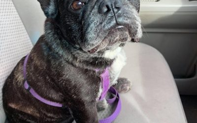 Meet MICKEY – 7 year old female French Bulldog – She Needs Your Help