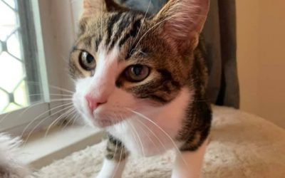 Mouse – 17 week old male kitten – Adopted