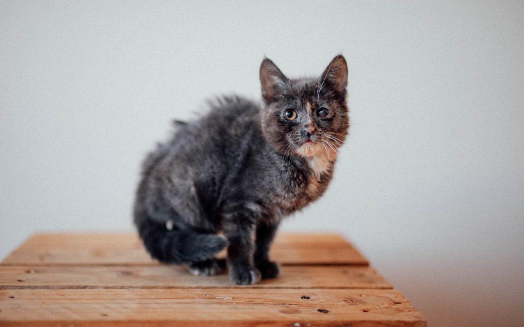 Vera – 8-10 week old female kitten