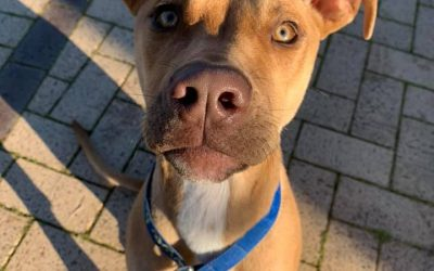It's save a life Thursday – Pound Rescue – ZALI – Female – 6 months old American Staffy X