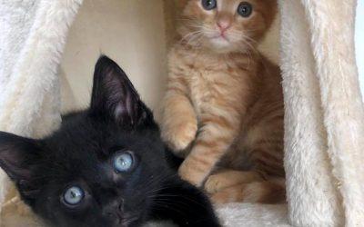 Rupert & George – 8 weeks old kittens – ON HOLD – Pending Trial (males)
