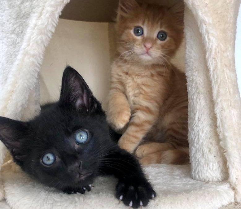 RUPERT & GEORGE – 8 weeks old kittens – ADOPTED!